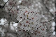 2008桜 015