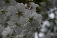 2008桜 005