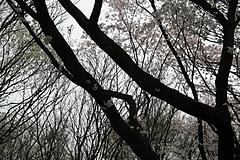2008桜 013