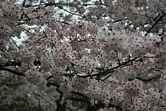 2008桜 020