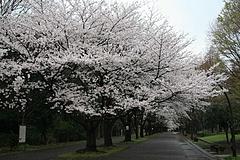 2008桜 023