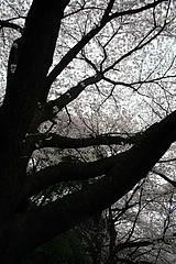 2008桜 032