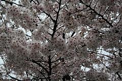 2008桜 027