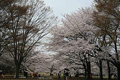 2008桜 003