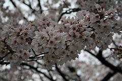 2008桜 029