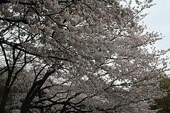 2008桜 019
