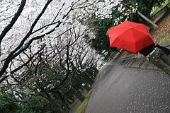 2008桜(るかちゃんと) 034