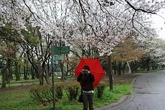 2008桜(るかちゃんと) 033