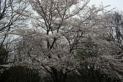 2008桜 006