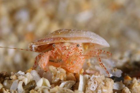 Solitariopagurus trullirostris