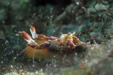 ネコジタウミウシ属の1種