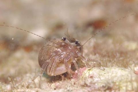 Pagurixus maorus