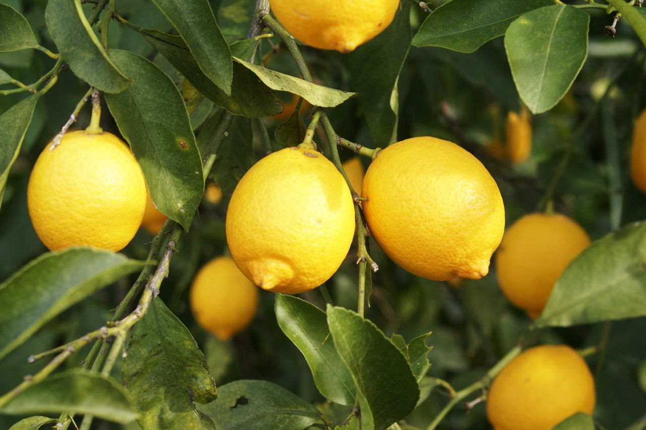 レモンが脂肪肝に効果! 病気予防も!! : まとめますた