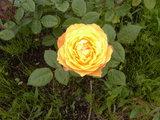 黄バラアップ