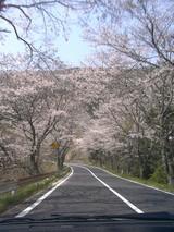 川合の桜ポイント
