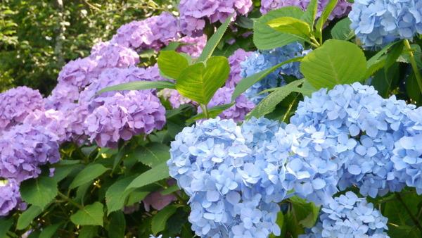 水戸市保和苑紫陽花まつり