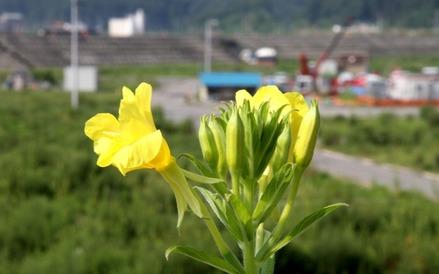 田老堤防の上で見つけた可憐な花