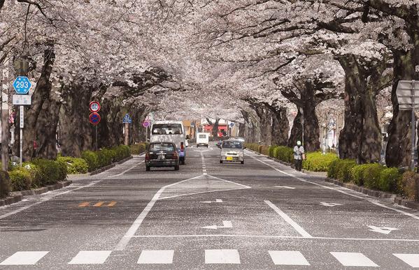 散る桜<日立平和通り>