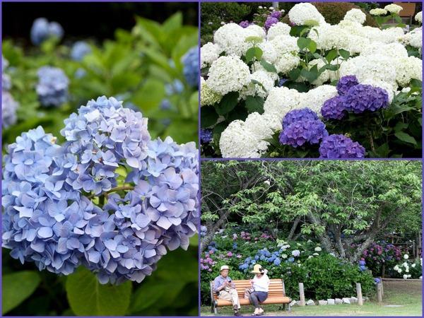 保和苑の紫陽花