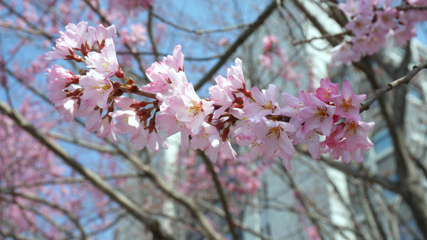 茨城県庁の桃満開