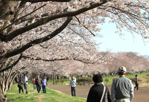 福岡堰の桜2015