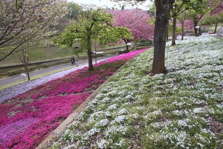 1-130423静八重桜公園B006