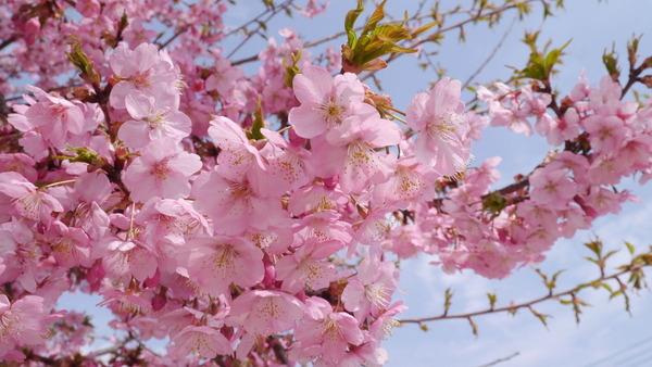 久慈サンピア日立周辺の河津桜