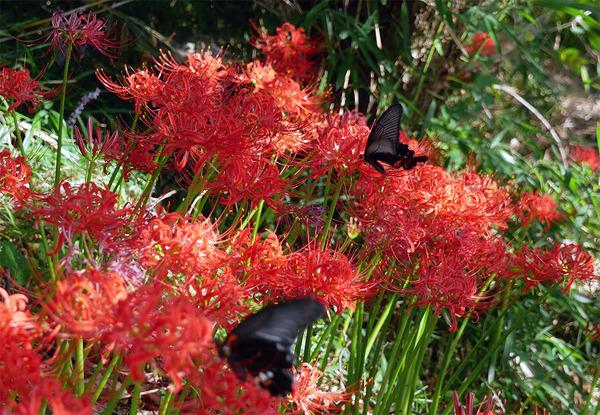 松平のお地蔵さんの彼岸花