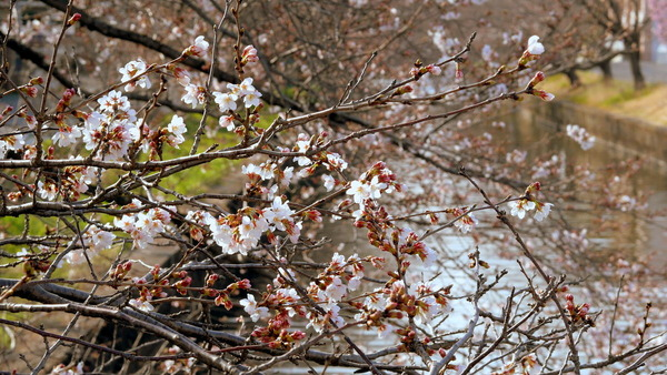 咲き始めた新川の桜