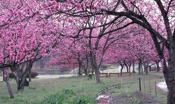 古河市の花桃