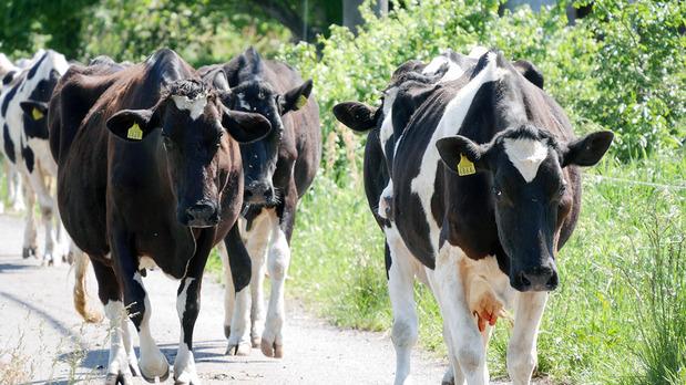 放牧場所に移動する牛たち