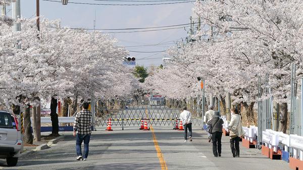 夜ノ森地区の桜