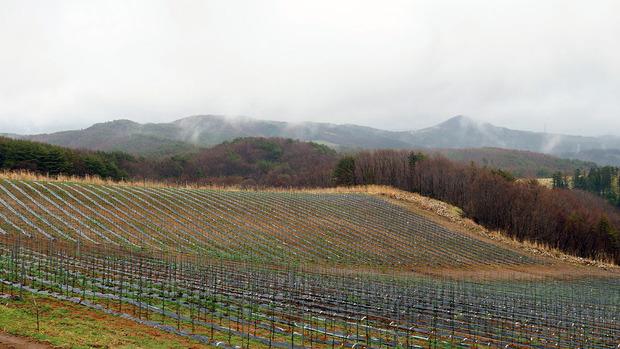 山内村のブドウ畑