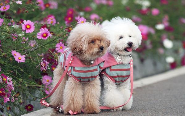 コスモスと犬たち
