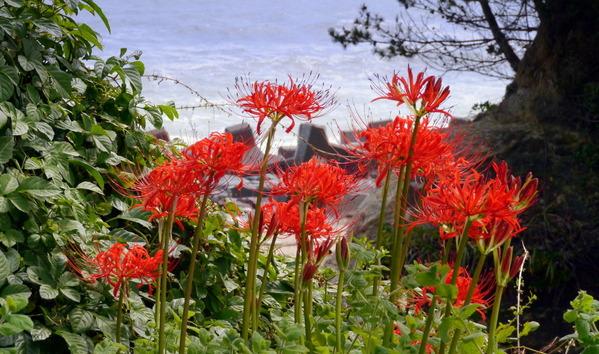 日高漁港近くに咲く彼岸花
