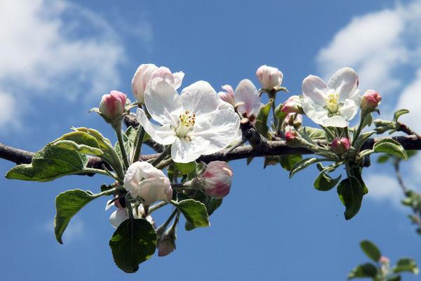 りんごの花(大子町内)