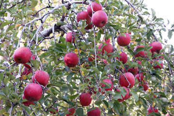 黒田りんご園のりんご