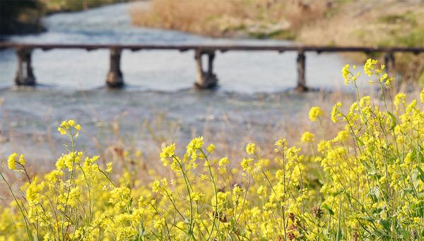 里川の菜の花