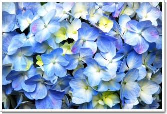 パステルカラーの紫陽花.jpg