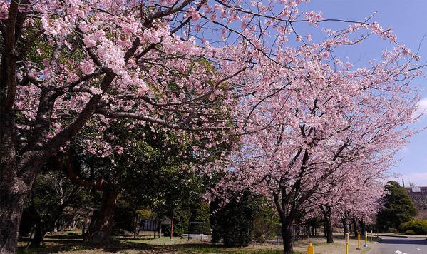 茨城大学阿見キャンパスの大寒桜