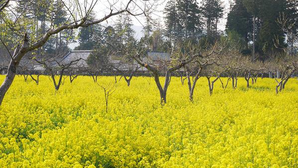 四万騎農園の菜の花