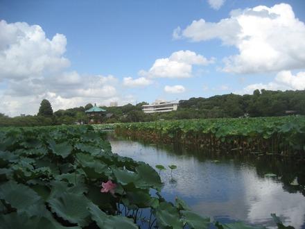不忍池の夏景色