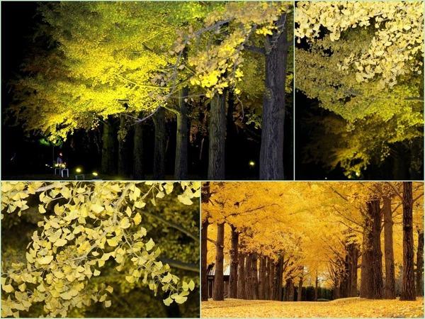 いちょう並木のライトアップ茨城県立歴史館