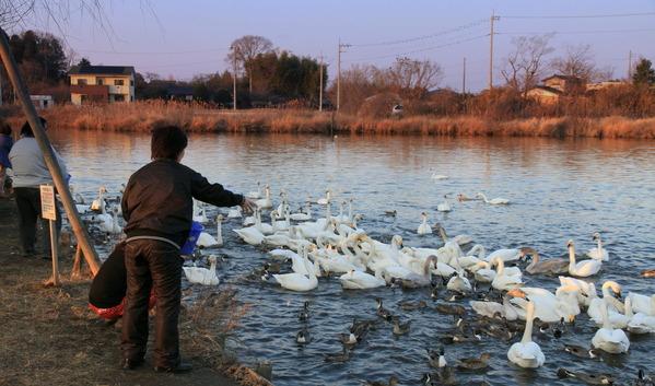 水戸弁天池の白鳥