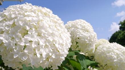 水戸市保和苑紫陽花まつり050