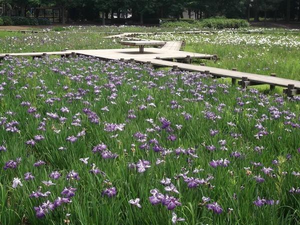 「砂沼広域公園」のハナショウブ
