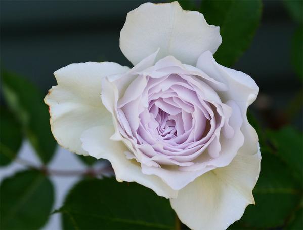 わが家の薔薇