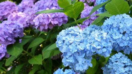 水戸市保和苑紫陽花まつり011