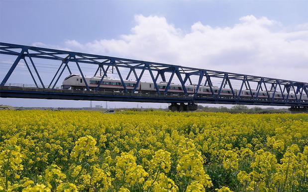 久慈川河川敷の菜の花