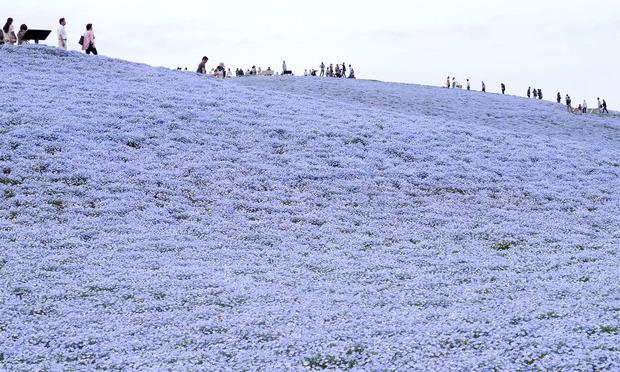 2012年のみはらしの丘のネモフィラ